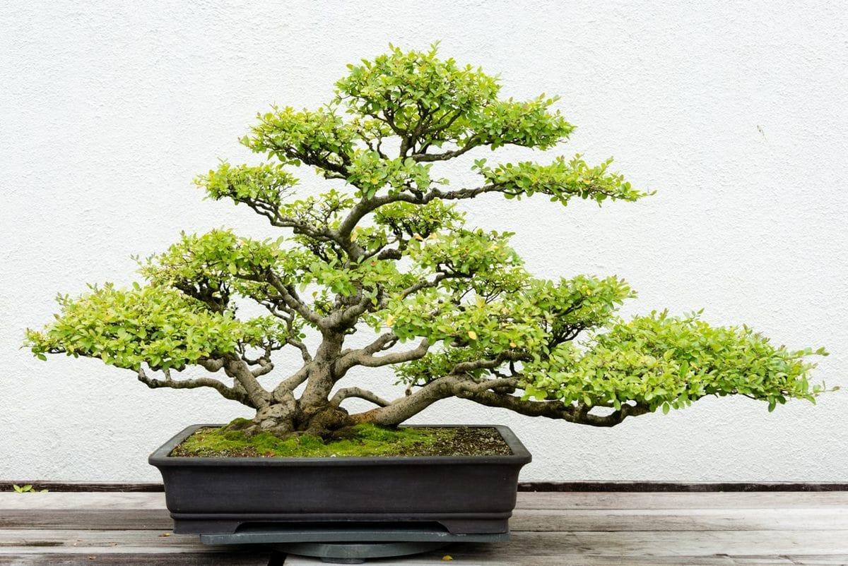 dj116 bonsai istock